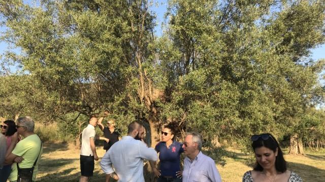 Le piante millenarie di olivo a Tivoli